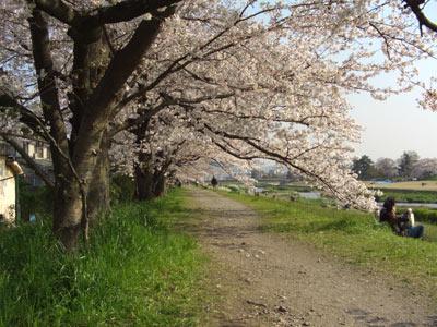 桜 京都 鴨川
